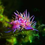 Flabellina Nudibranch (Deniz Tav?an?)